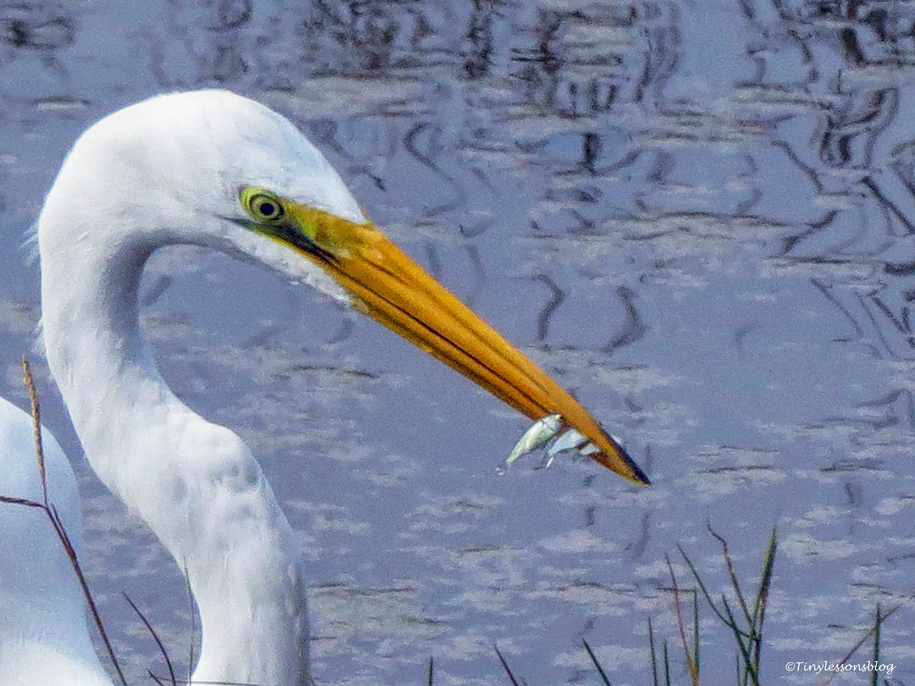 great egret with three fish FACE