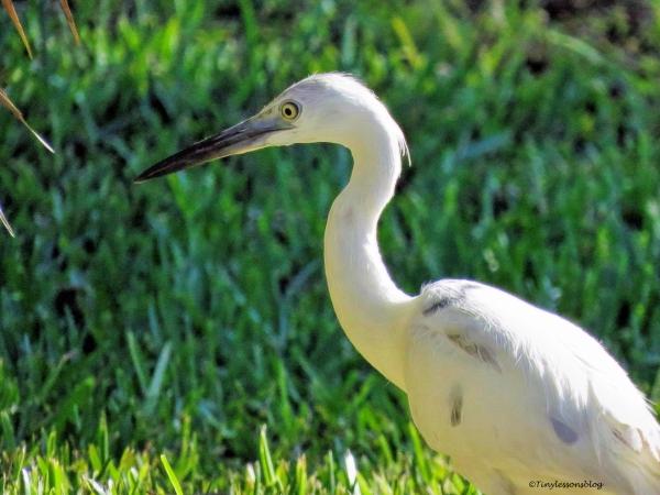 juvenile little blue heron ud59