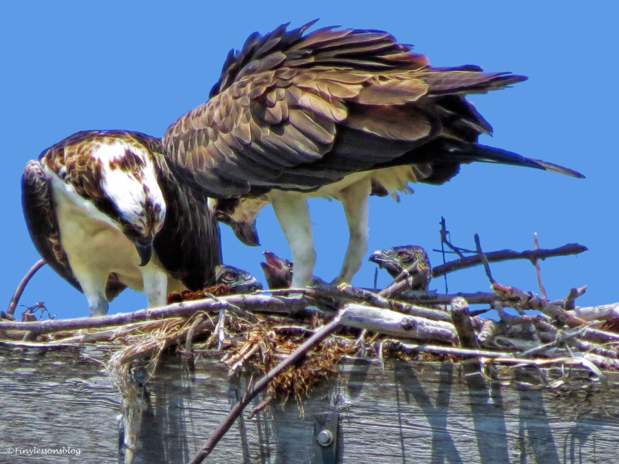last years osprey family ud63