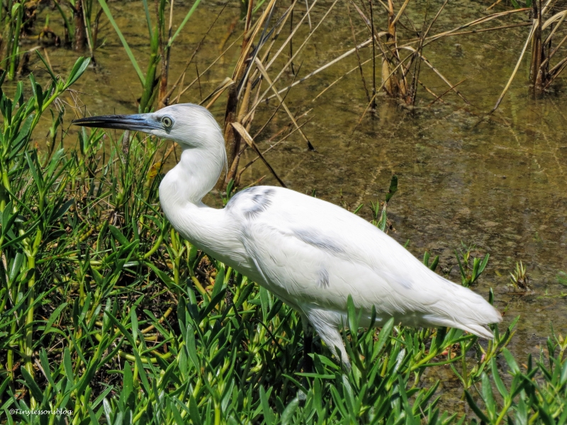 Little Blue Heron in white phase ud58
