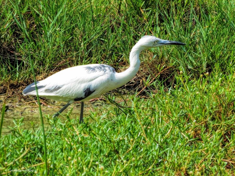 little blue heron juvenile ud61