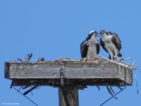 mama osprey advises osprey chick 2 ud62