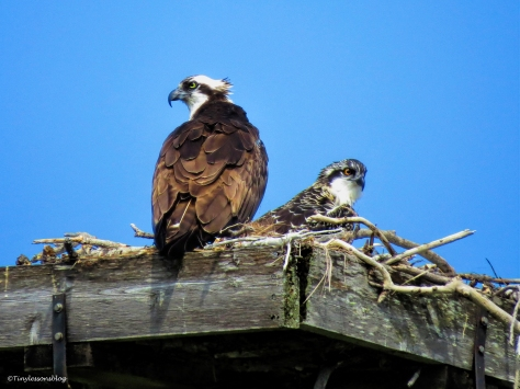 mama osprey and chick waiting for brunch ud61
