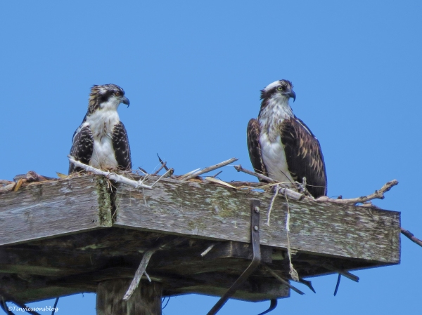 mama osprey and chick waiting for fish ud62