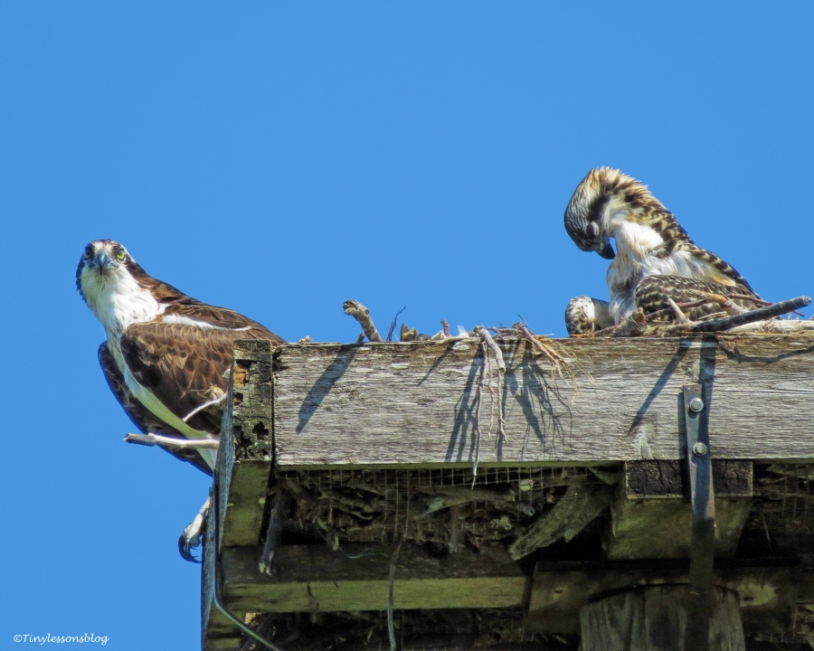 mama osprey and osprey chick preening UD60