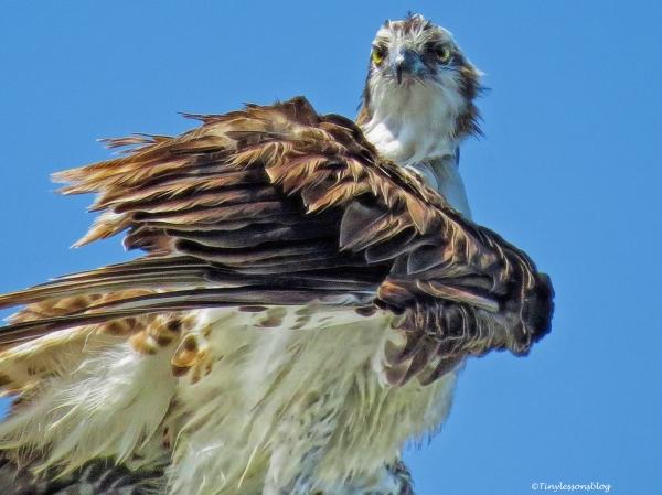 mama osprey FACE