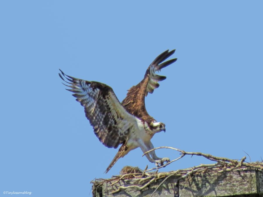 mama osprey gets something to the nest ud61