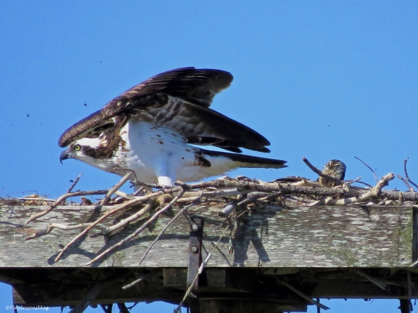 mama osprey ready to defend the nest ud59