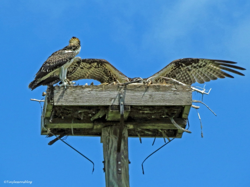 mama osprey returns to chick ud62
