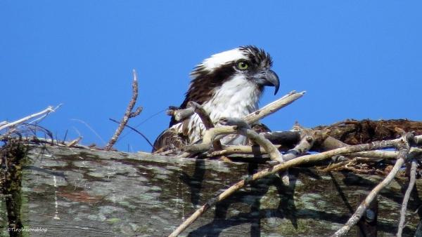 mama osprey ud59