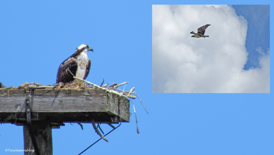 mama osprey watches chick flying ud62