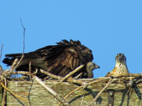 Mama Osprey with two chicks ud58
