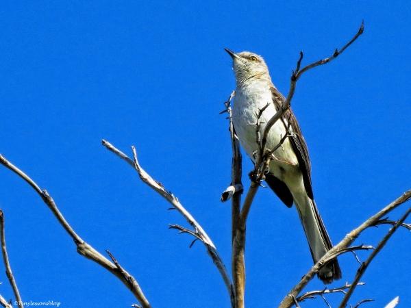 Mockingbird ud59