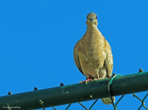Mourning dove in the morning ud62