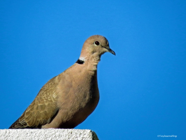 mourning dove ud59