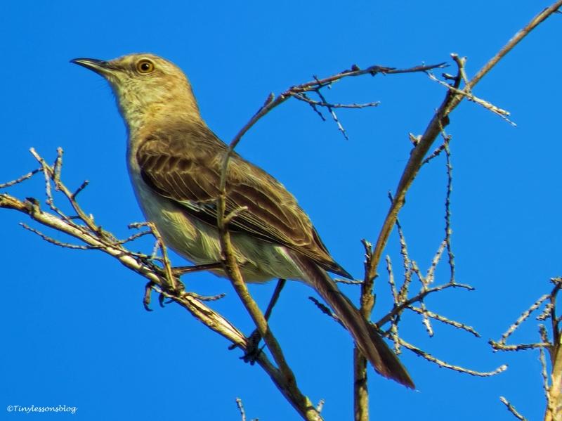 northern mocking bird ud62