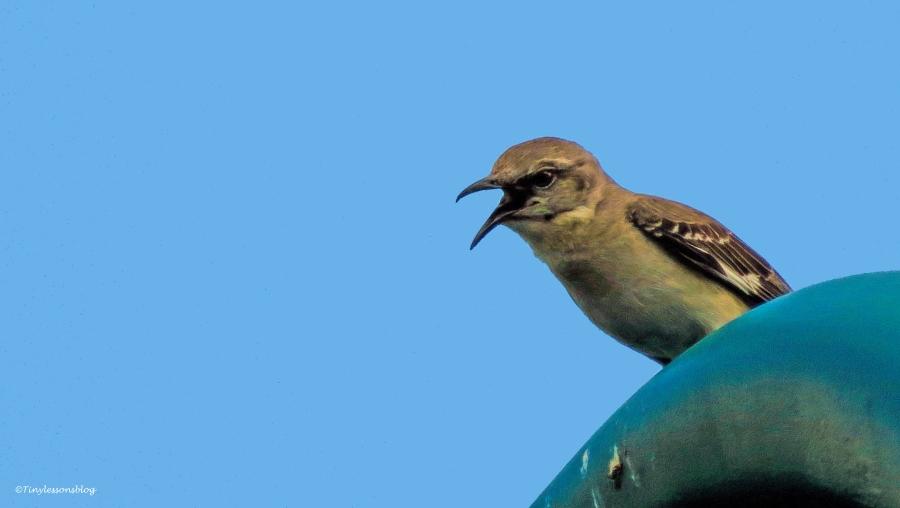 northern mockingbird ud58
