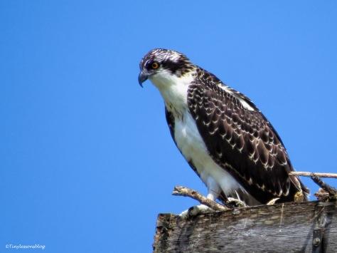 osprey chick 2 ud62