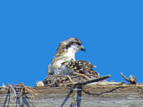 osprey chick 6 weeks old ud60