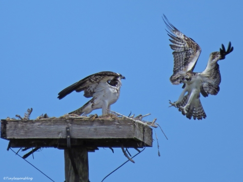 osprey chick approaches the nest ud62