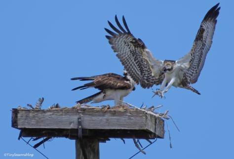 osprey chick landing ud62.jpg