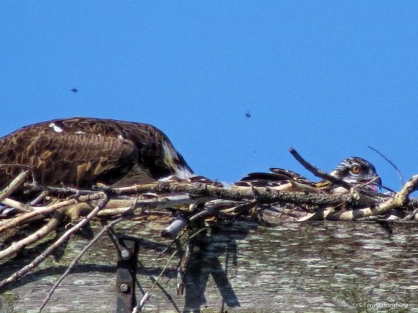 osprey chick ud59