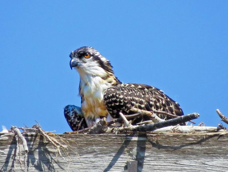 osprey chick ud60