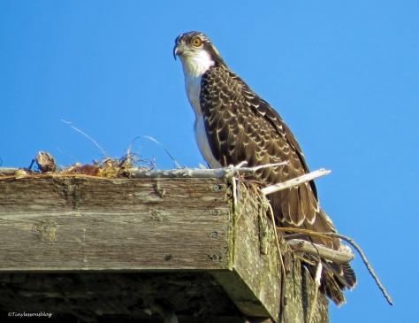 osprey chick ud62
