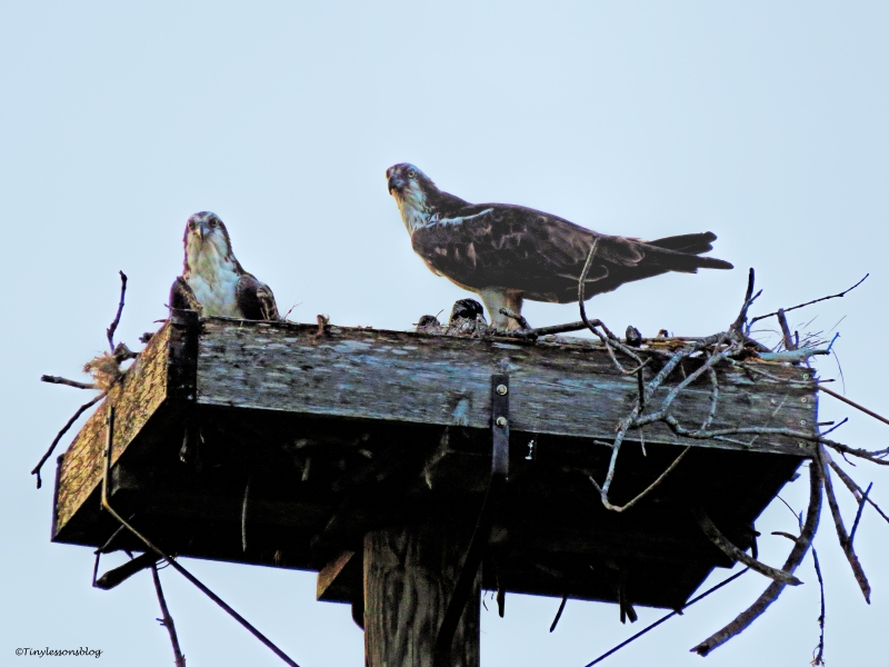 osprey family at sunset ud58