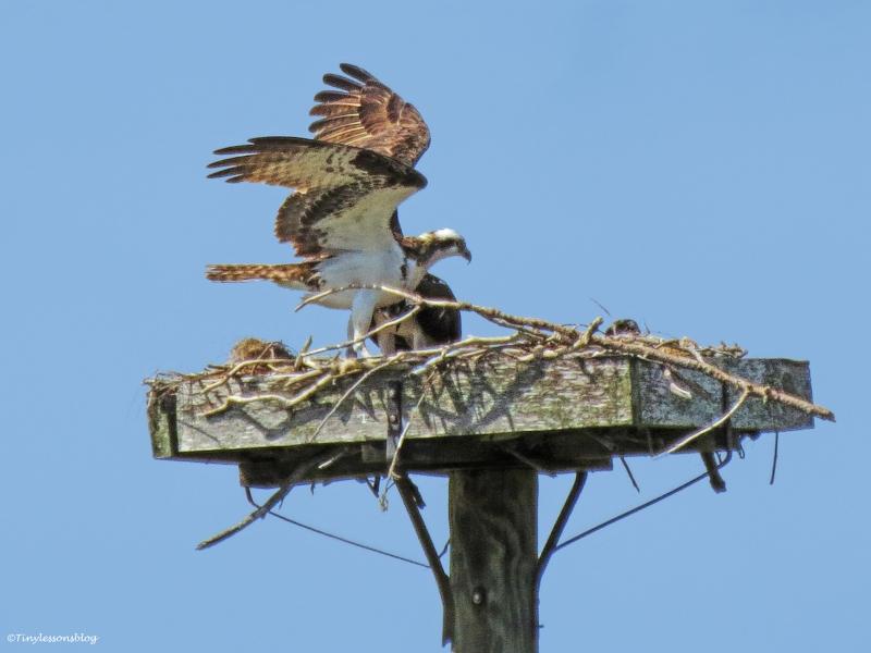 papa osprey arrives with sunday brunch ud61