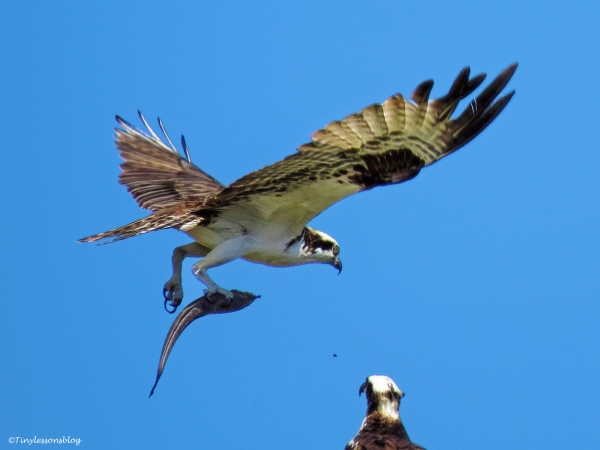 papa osprey flies away w fish ud59
