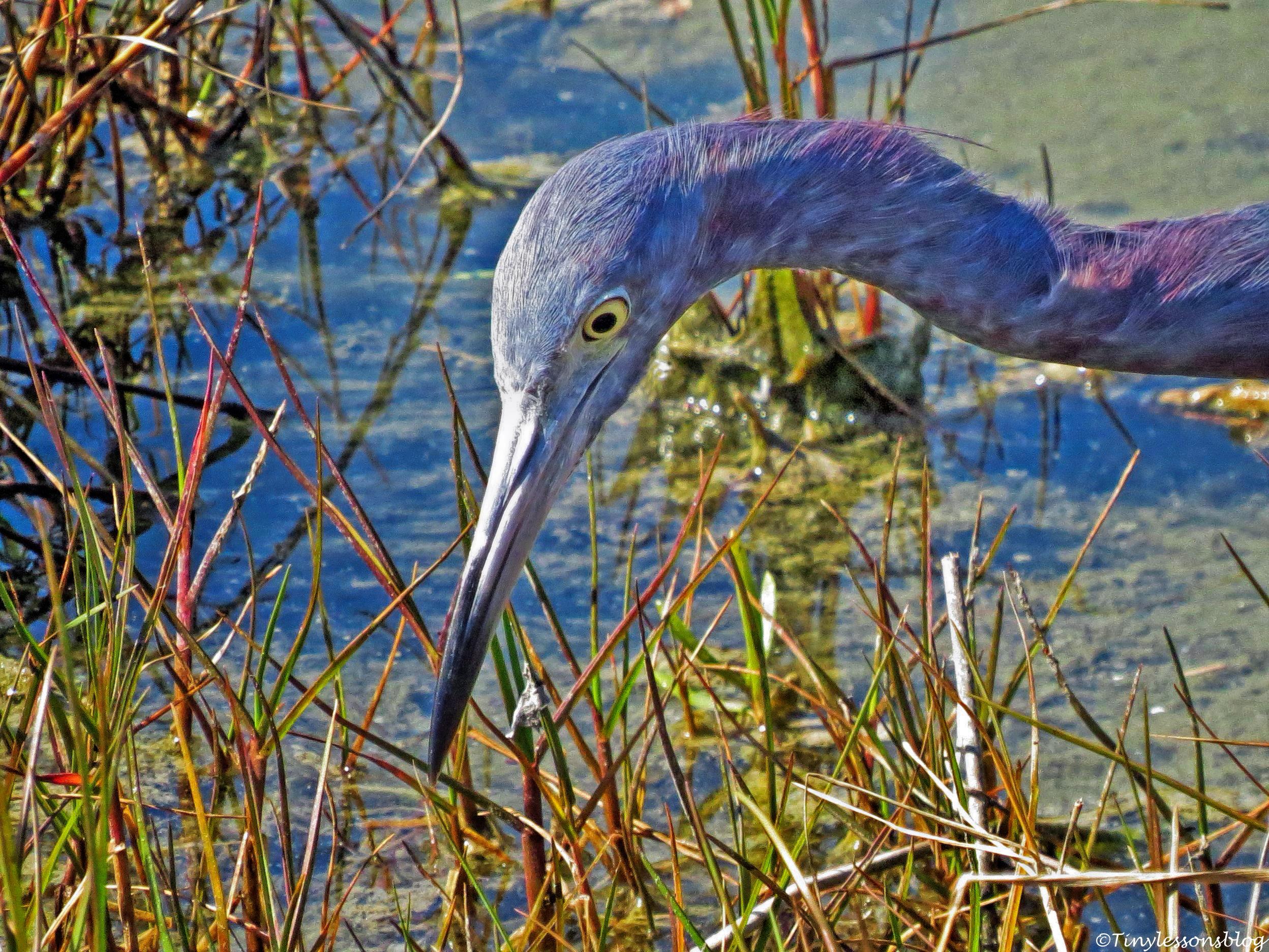portrait of little blue heron FACE