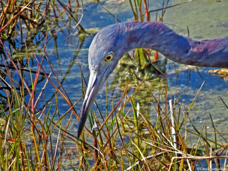 portrait of little blue heron FACE