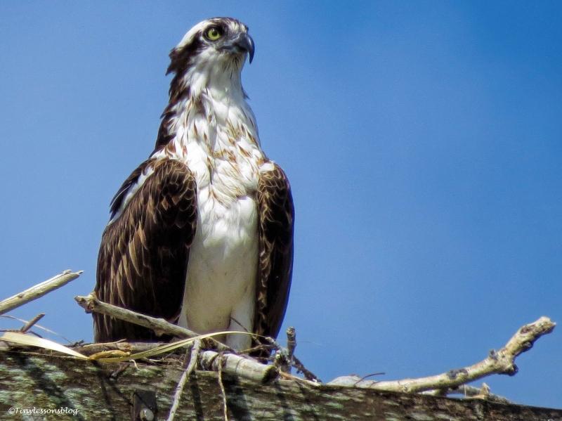 portrait of mama osprey ud62