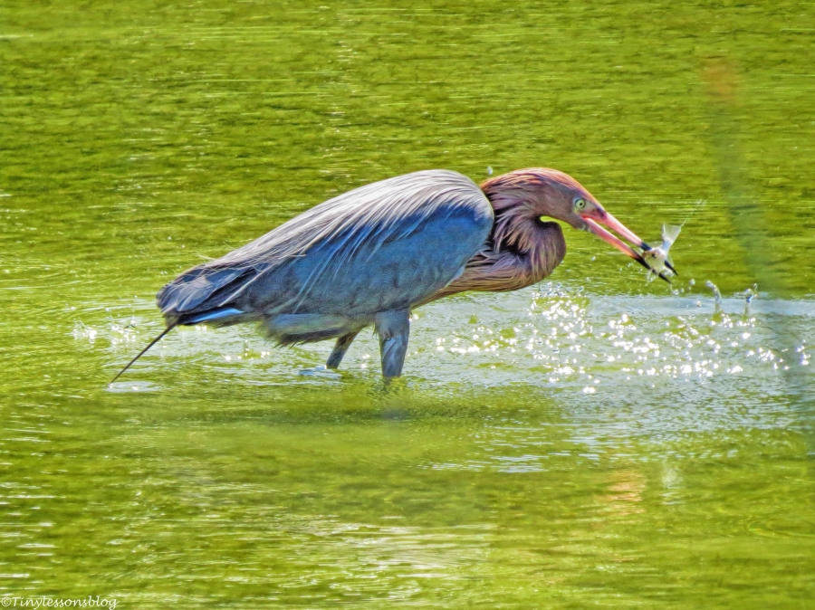 reddish egret caught a fish UD61