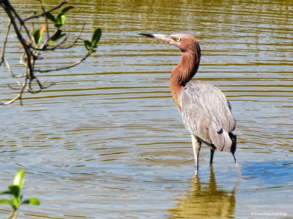 reddish egret looks at the nest ud60