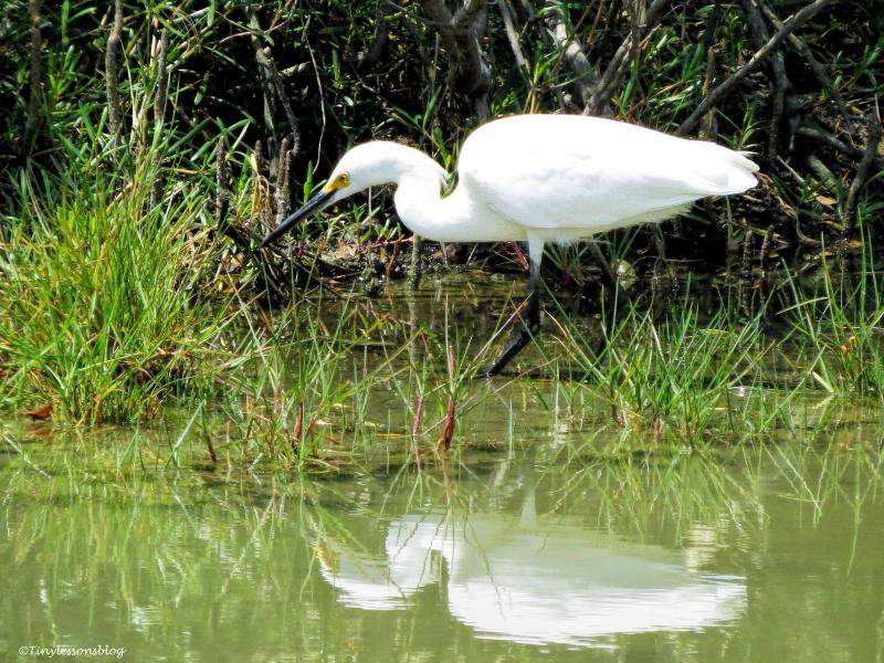 snowy egret 2 ud58