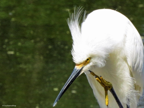 snowy egret FACE