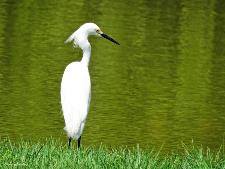 snowy egret ud61