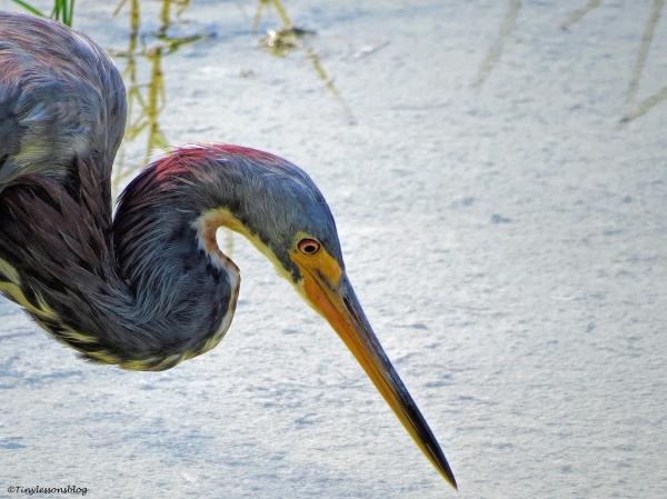 tri-colored heron FACE