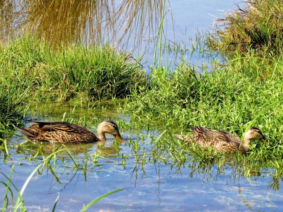 two ducklings ud59