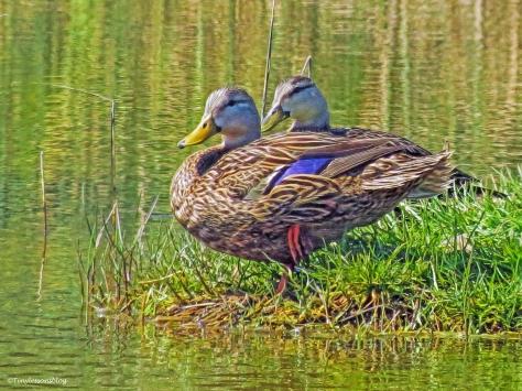 two Florida Mottled Ducks ud60