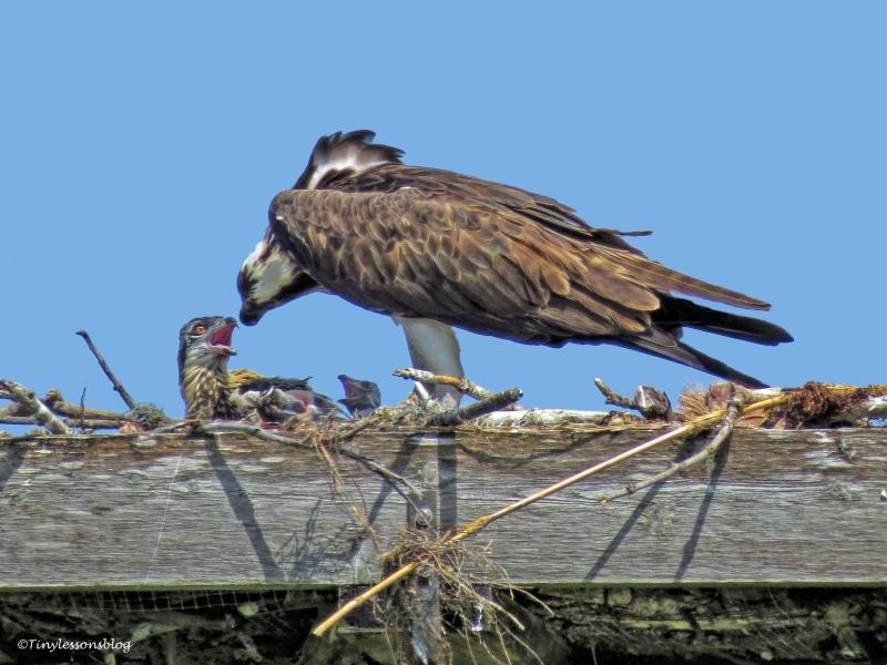 two osprey chicks ud63