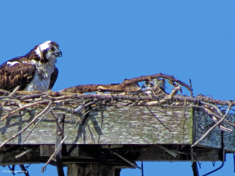 weary Mama Osprey and 2 chicks ud59