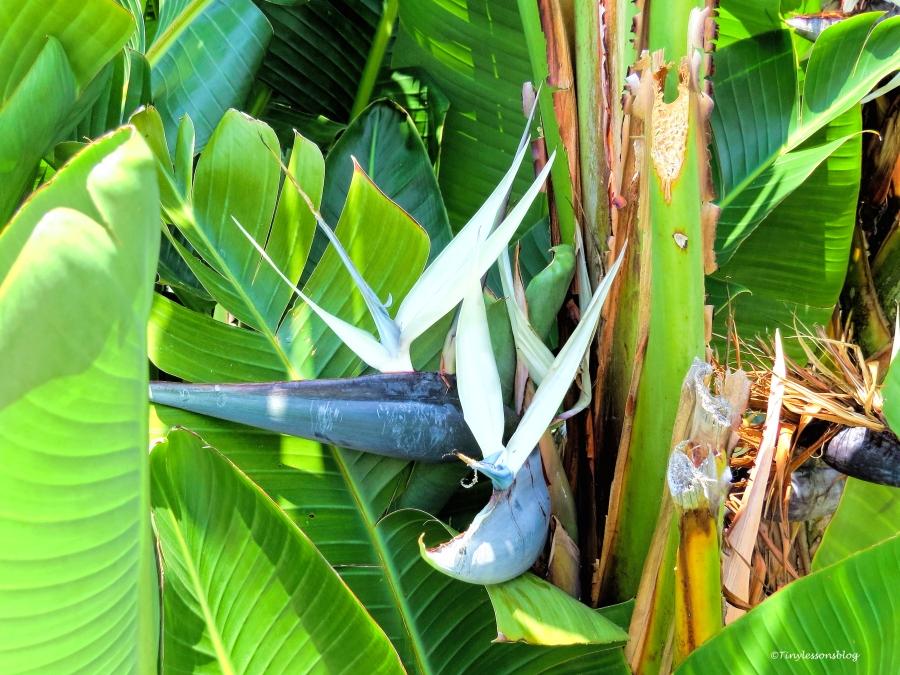 white bird of paradise flower ud60