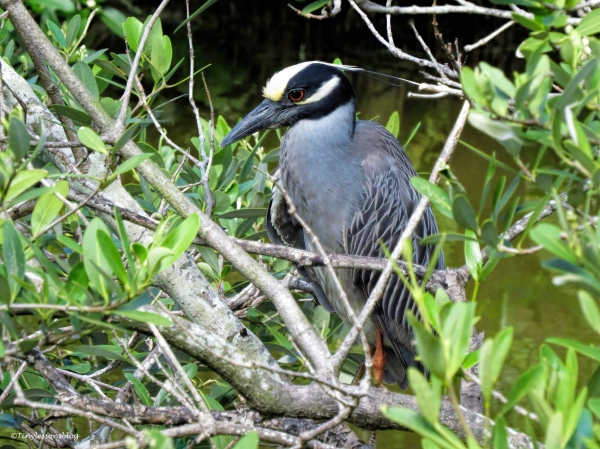 yellow-crowned night heron ud61