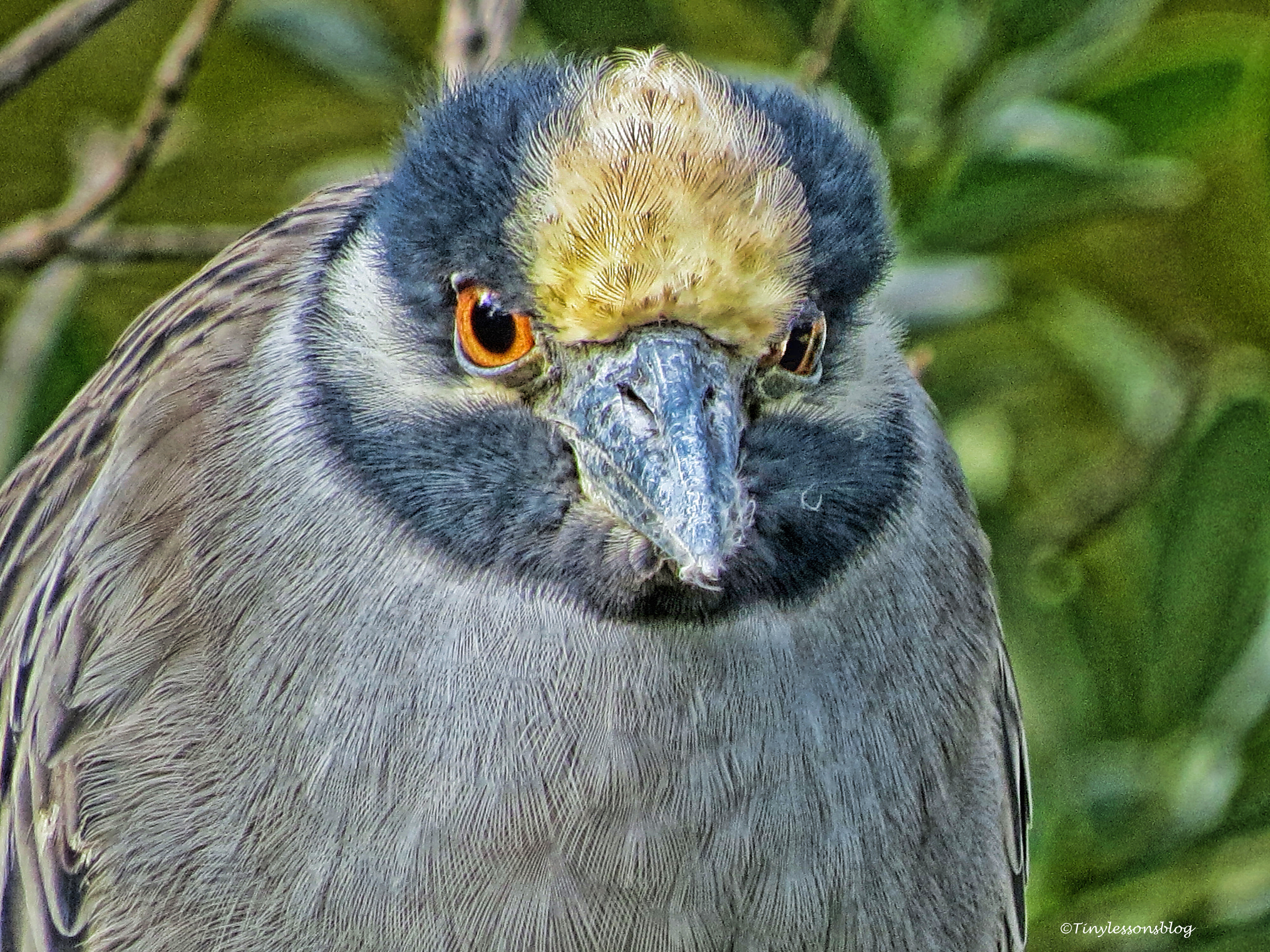 yellowcrowned night heron FACE