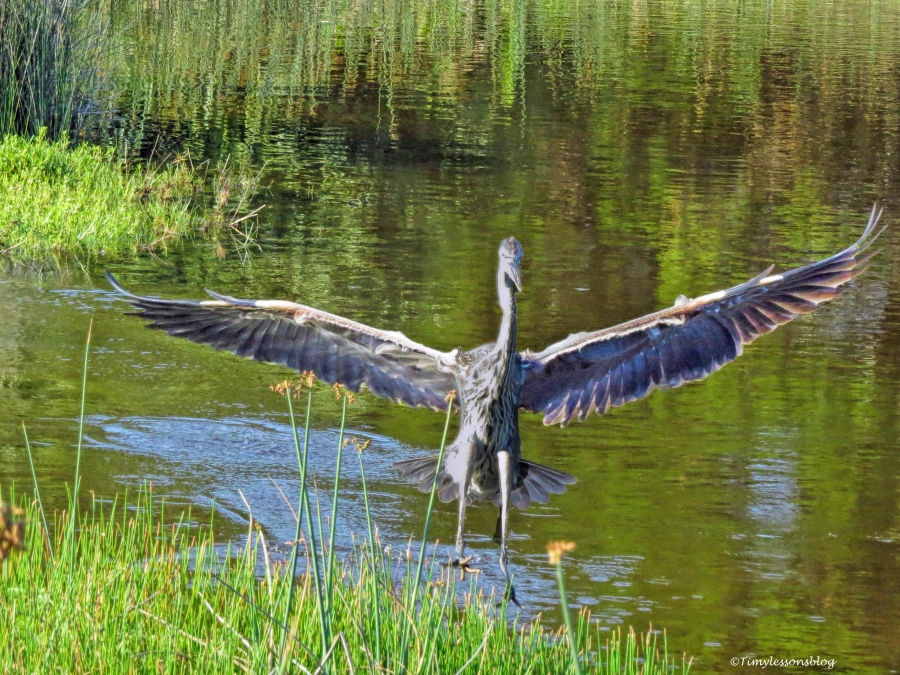 young great blue heron ud59