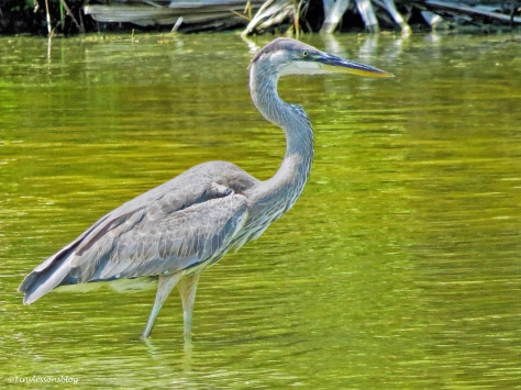 young great blue heron ud60