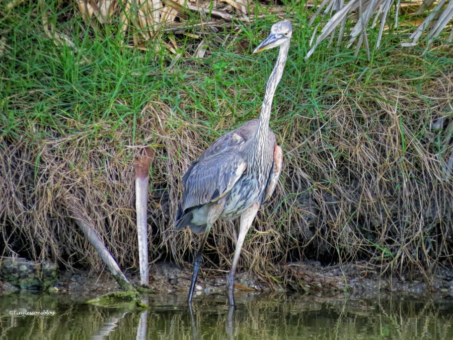 young great blue heron ud62